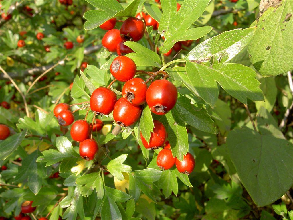 Albero Con Bacche Rosse alberi e arbusti della flora mediterranea | manifra'